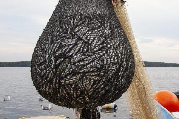 Kalastajan trooliin on jäänyt hyvä muikkusaalis.
