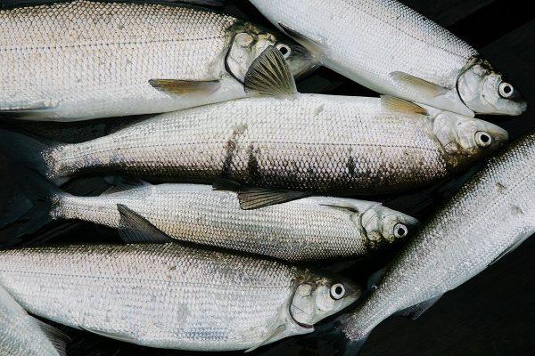 Siika on yksi rannikon kalastajien tärkeimmistä saalislajeista.